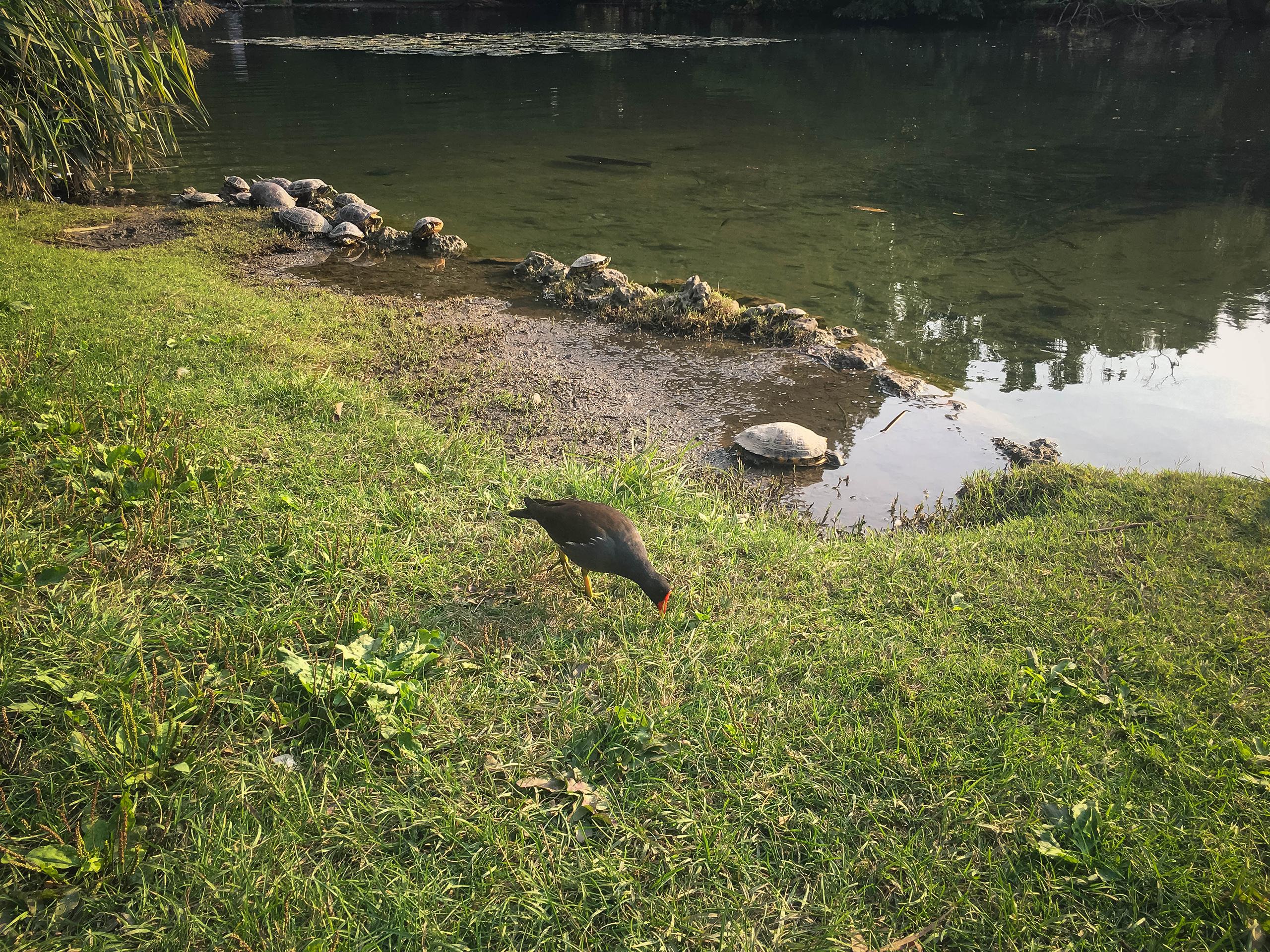 milan park sempione turtles